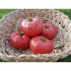 Tomates Rose de Berne