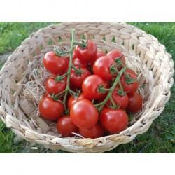 Tomate Tentation