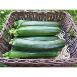Courgette moyenne