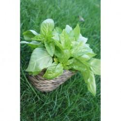 Herbette Basilic