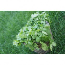 Herbette Coriandre